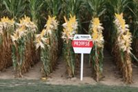 Gentech maïs tweede kamer is tegen, Europese Commissie is voor