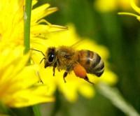 Exclusieve honingsoorten acacia- manukahoning zijn bloemenhoning