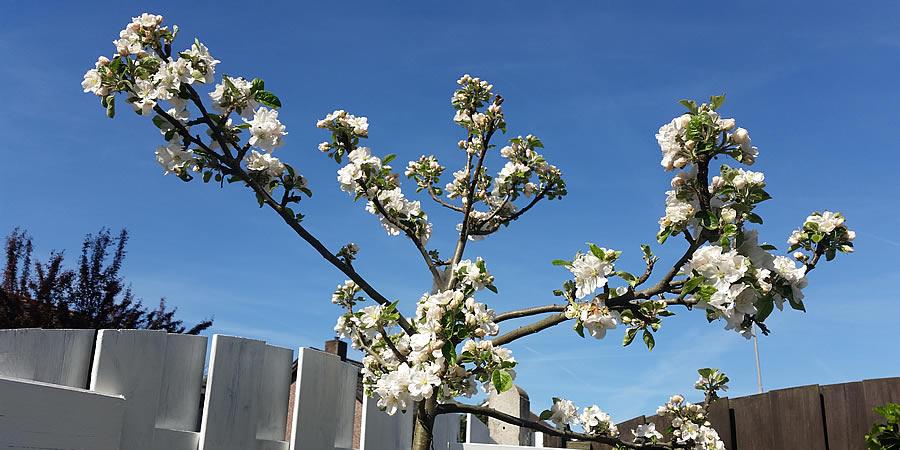 bloesem appelboom moestuin