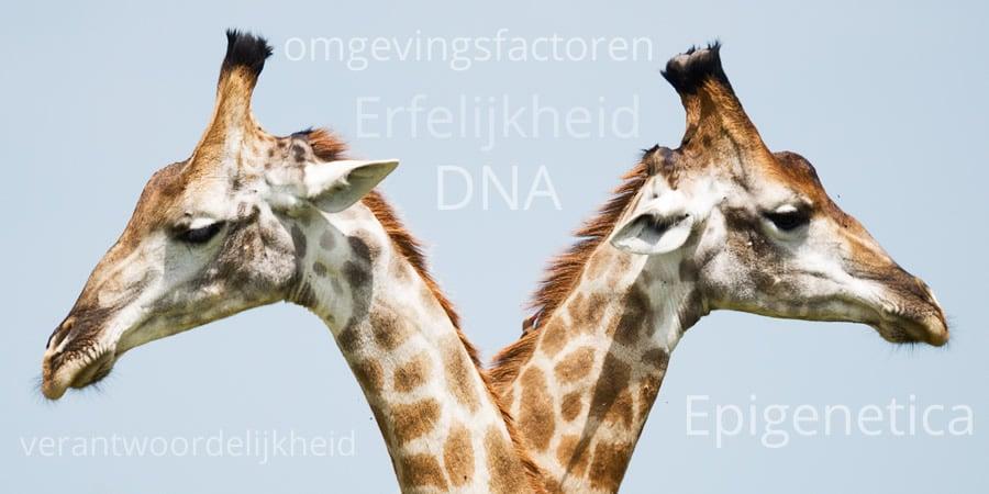 erfelijkheid DNA epiginetica omgevingsfactoren